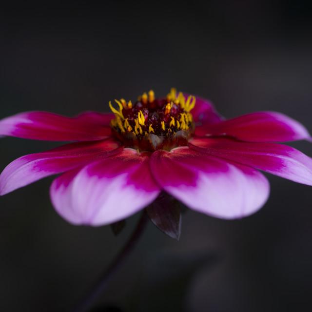 """macro photo of dahlia"" stock image"