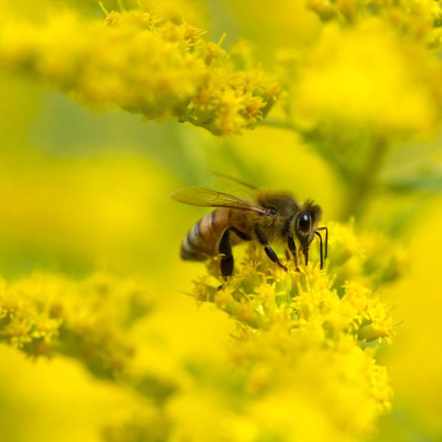 """honey bee on flowers"" stock image"