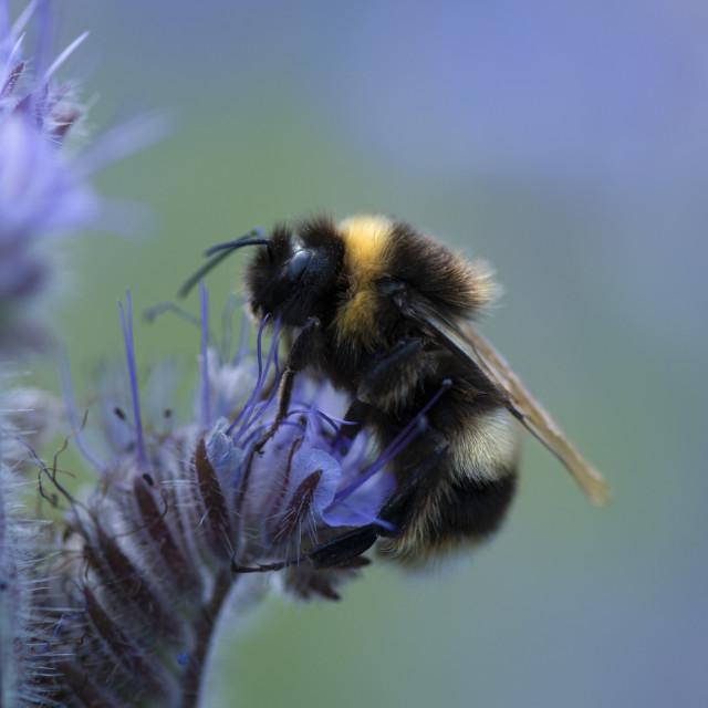 """""""bumblebee on flowers"""" stock image"""