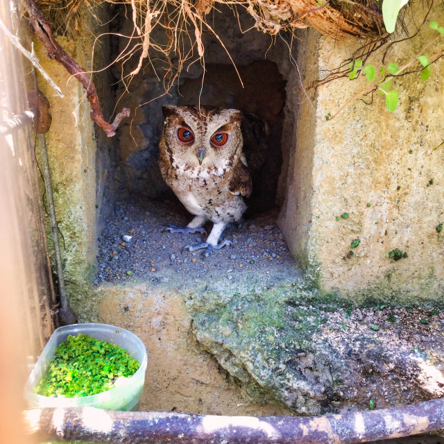 """""""Young Owl"""" stock image"""
