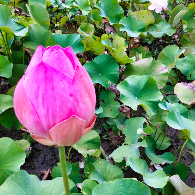 """""""Single Bud of Pink Water Lily Bloom"""" stock image"""