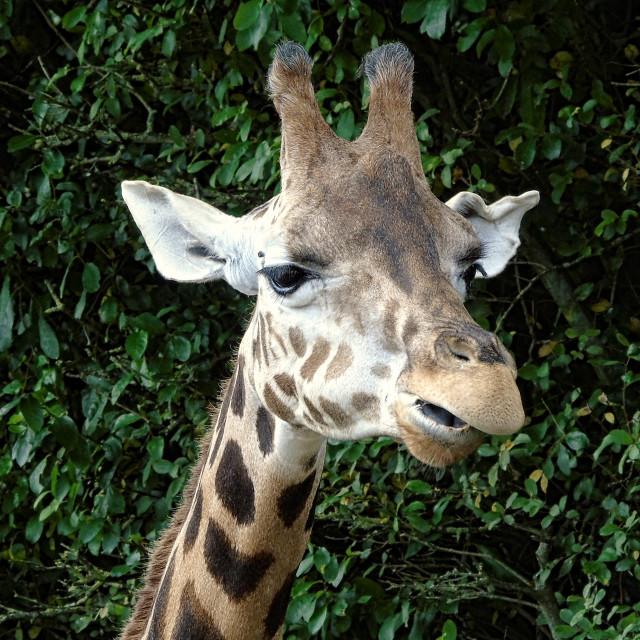 """A Giraffe"" stock image"