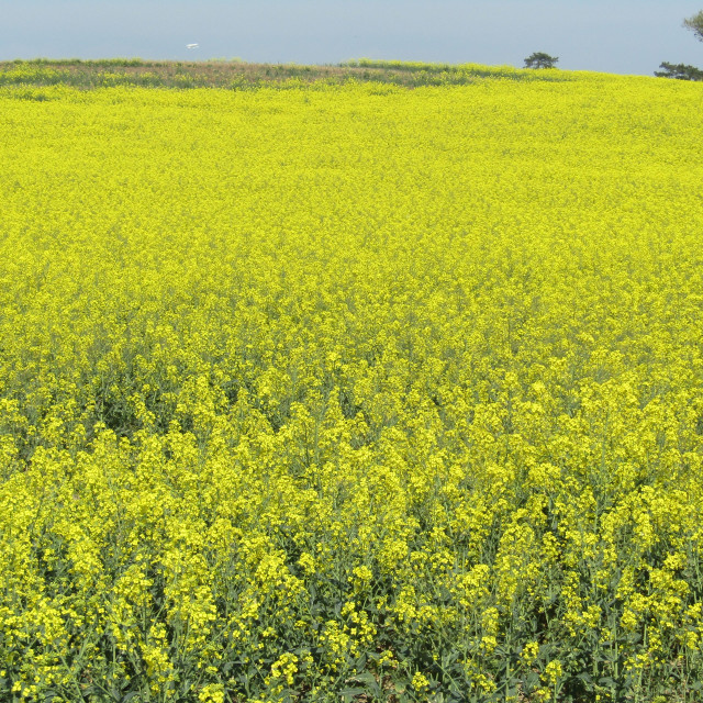 """Rapeseed flower field in Somerset"" stock image"