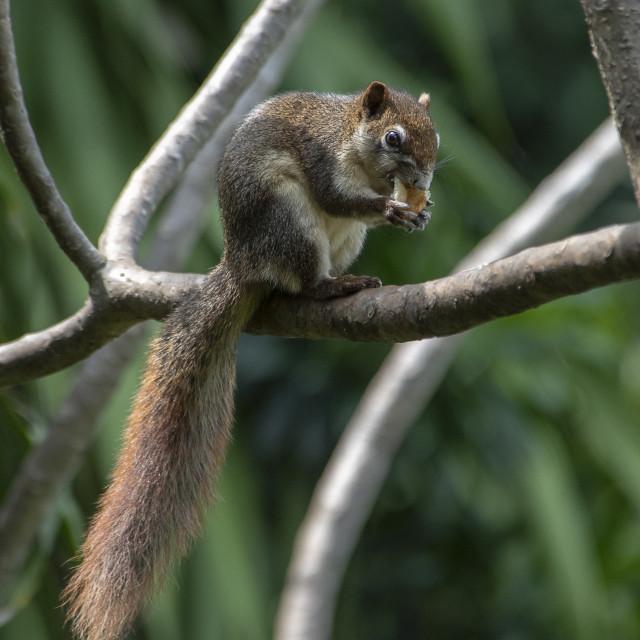 """Asian Squirrel Thailand (II)"" stock image"
