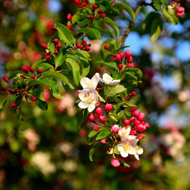 """Apple Blossom in April"" stock image"