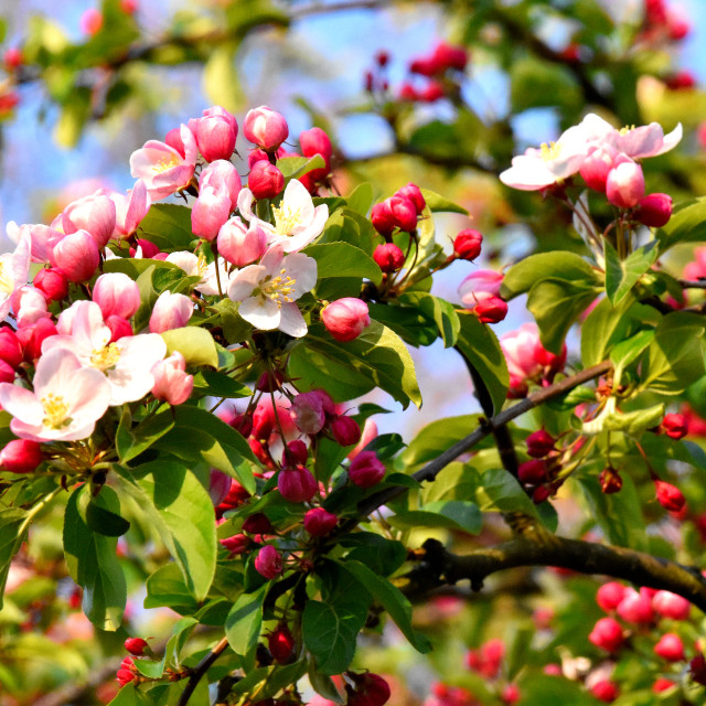"""""""Apple Blossom in our garden."""" stock image"""