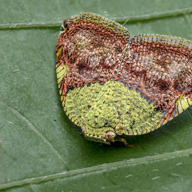 """""""Moth Plant Hopper 01"""" stock image"""