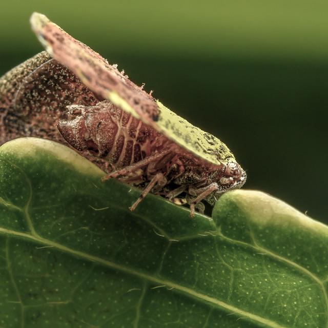 """""""Moth Plant Hopper 02"""" stock image"""