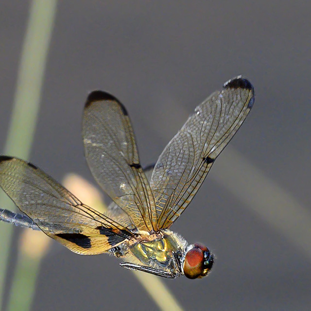"""""""Dragonfly In Flight 01"""" stock image"""