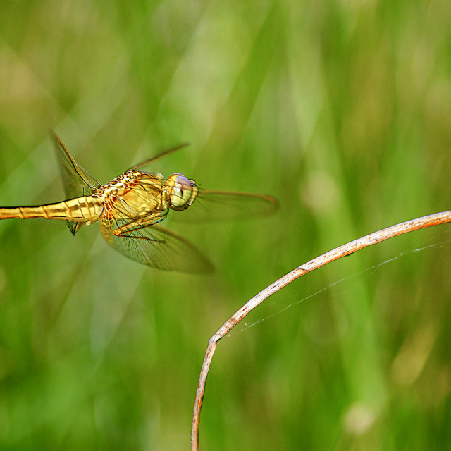"""""""Dragonfly in Flight 02"""" stock image"""