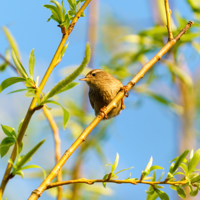 """""""Wren (Troglodytes troglodytes) perched on a small branch, taken in England"""" stock image"""