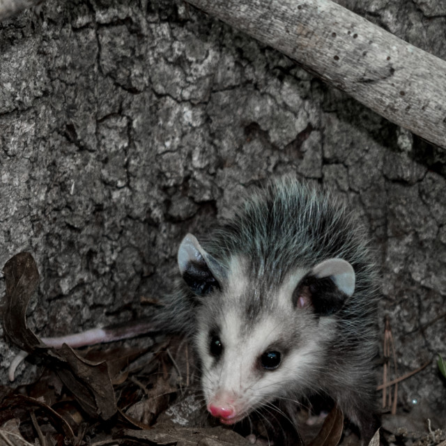 """""""Baby opossum with pink nose standing in leaves in front of tree"""" stock image"""