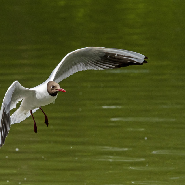 """Black Headed Gull"" stock image"