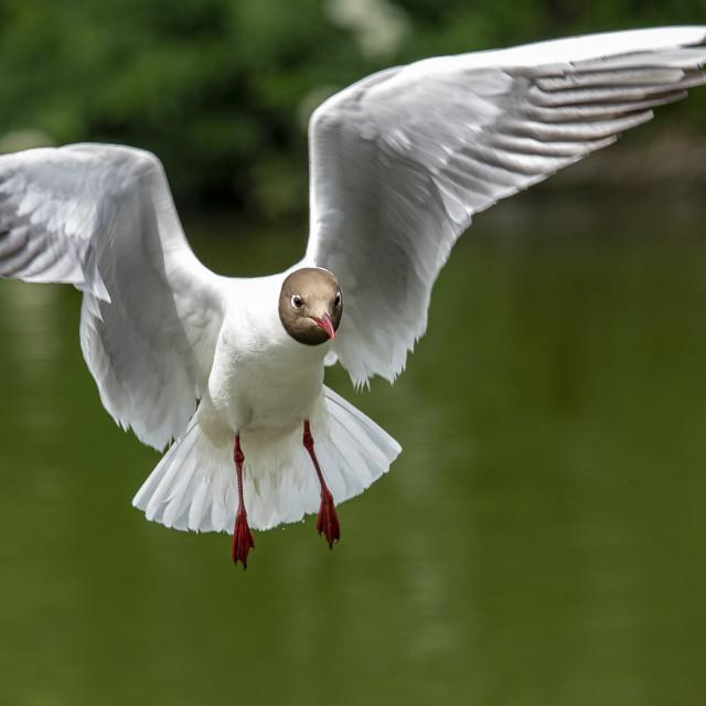 """Black Headed Gull (II)"" stock image"