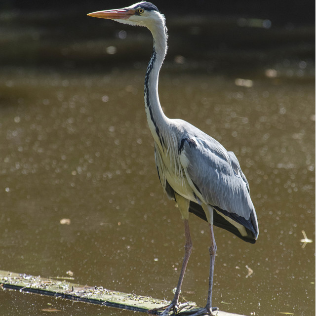 """Grey Heron Plank Walking"" stock image"