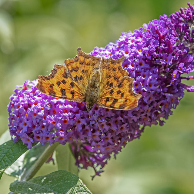 """Comma Butterfly on Buddleia"" stock image"