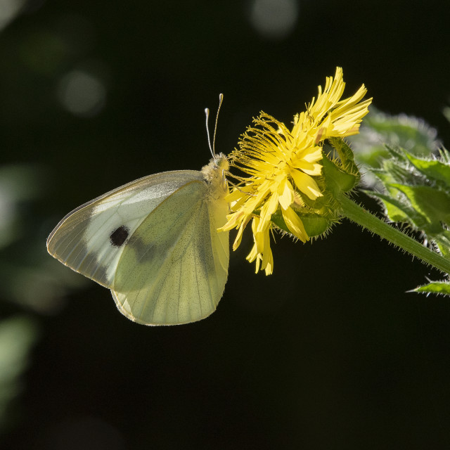 """Small White Butterfly Feeding"" stock image"
