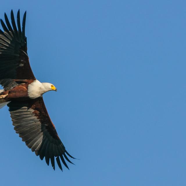 """Fish Eagle Soaring"" stock image"
