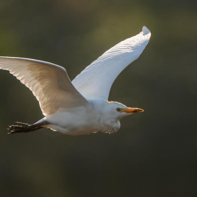 """""""Cattle Egret Flying"""" stock image"""