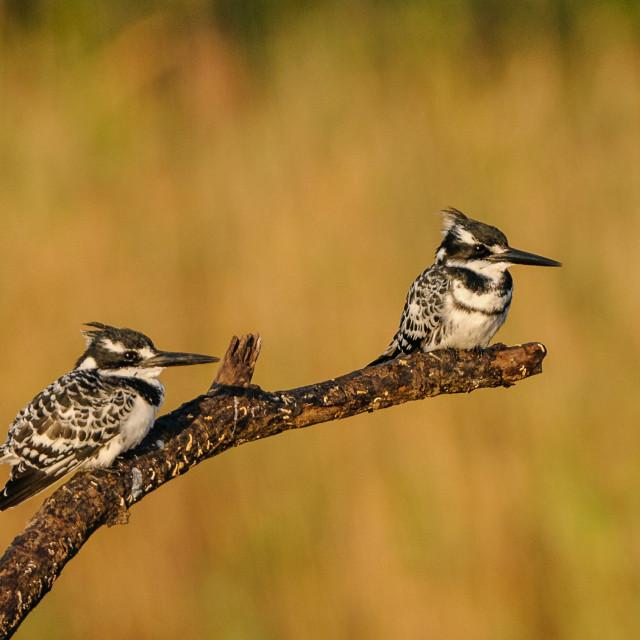 """Pair of Pied Kingfishers"" stock image"