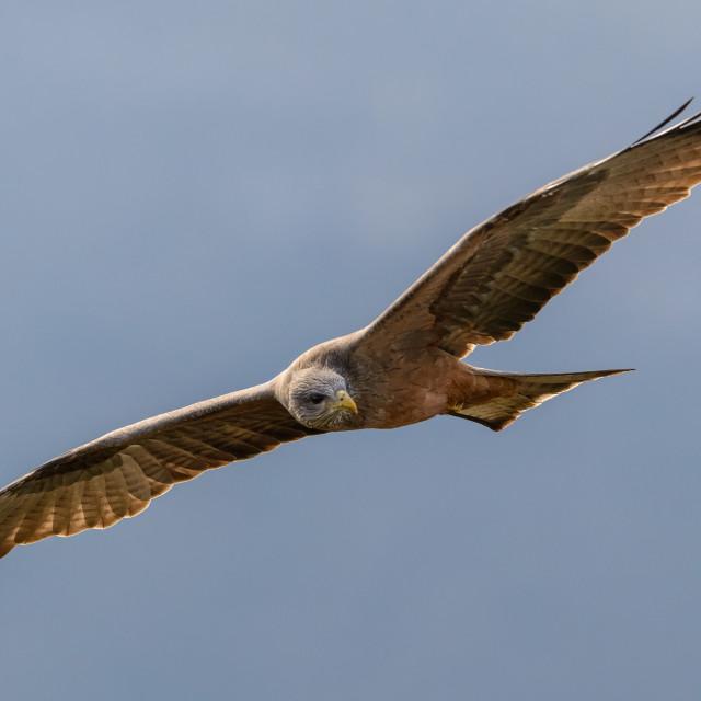 """""""Yellow Billed Kite soaring"""" stock image"""