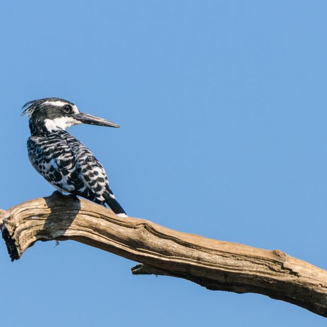 """Pied kingfisher Profile"" stock image"