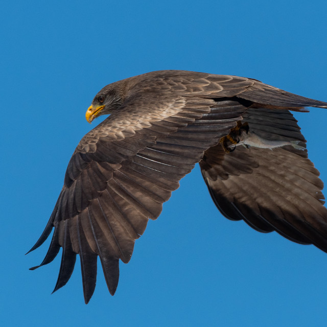 """""""Yellow Billed Kite flying with fish"""" stock image"""