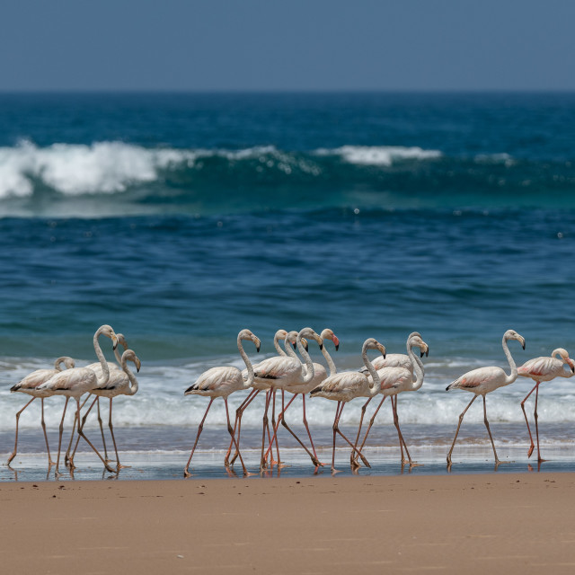 """""""Flamingos by the Ocean"""" stock image"""