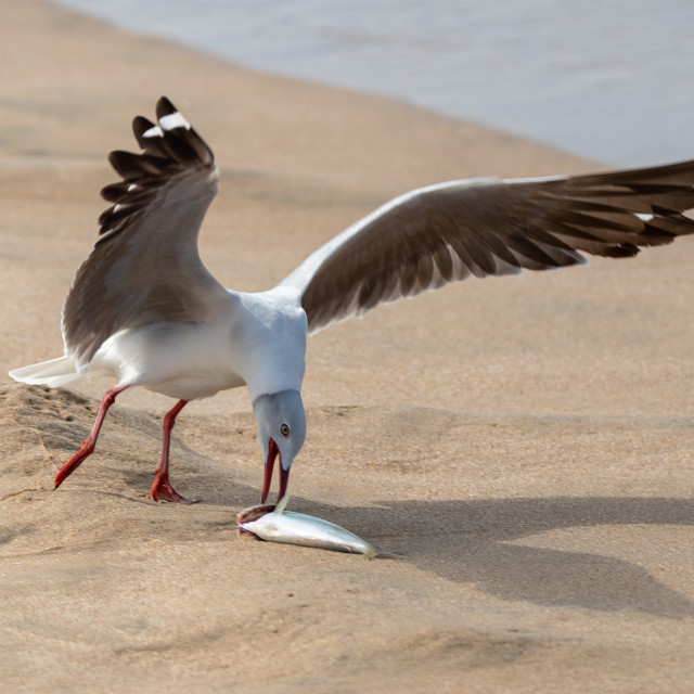 """Grey Headed Gull picking up fish"" stock image"