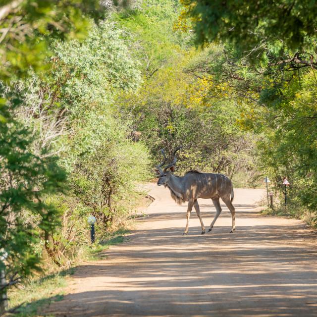 """Kudu Crossing the Road"" stock image"