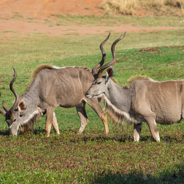 """""""Two Kudu in water plants"""" stock image"""