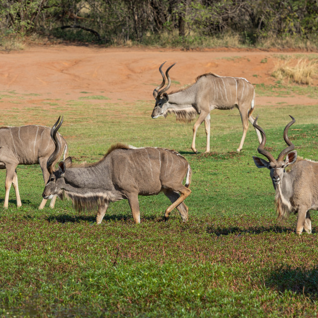 """""""Four Kudu in water plants"""" stock image"""