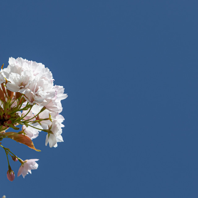 """""""Blossom. White Flowers. Cherry. Trees. Spring. Nature"""" stock image"""