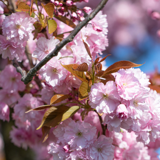 """""""Pink Cherry Tree. Blossom. Spring. Nature. Sunny. Day"""" stock image"""