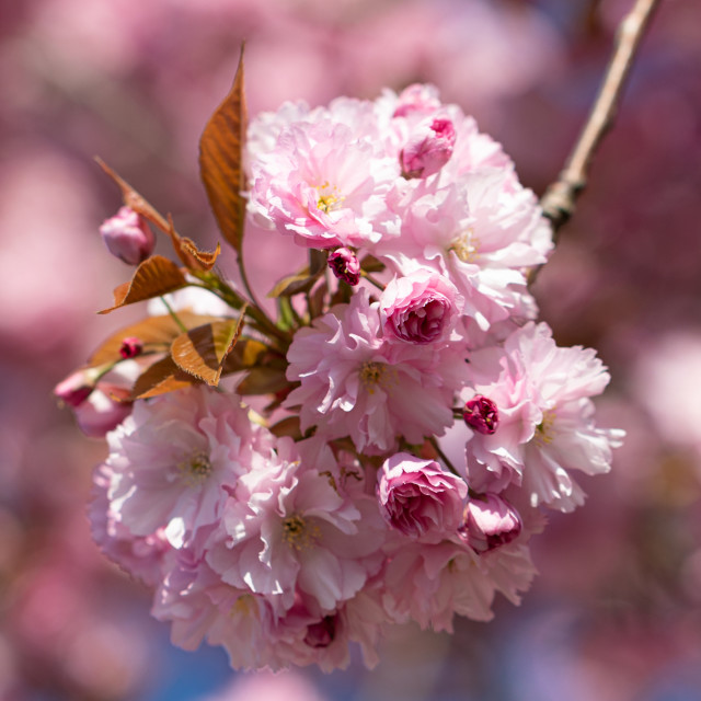 """""""Pink. Cherry Tree. Blossom. Spring. Nature. Sunny Day"""" stock image"""