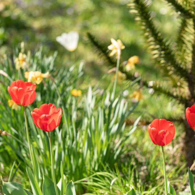 """""""Color. Tulips. Flower Heads. Nature. Garden. Spring"""" stock image"""