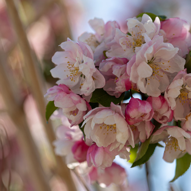 """""""Blossom. White. Flowers Cherry. Trees. Spring. Nature"""" stock image"""