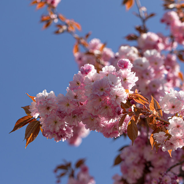"""""""Pink Cherry. Tree. Blossom. Spring. Nature. Sunny Day"""" stock image"""