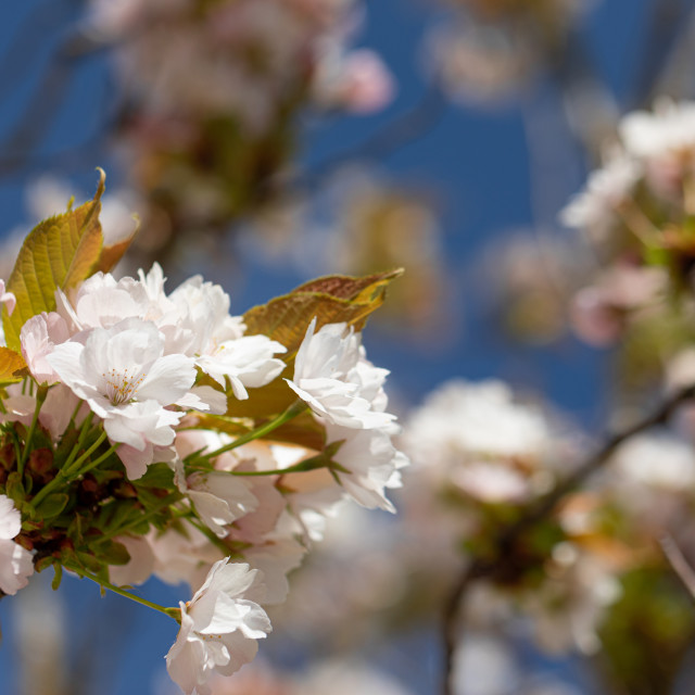 """""""Blossom. White. Flowers. Cherry. Trees. Spring. Nature"""" stock image"""