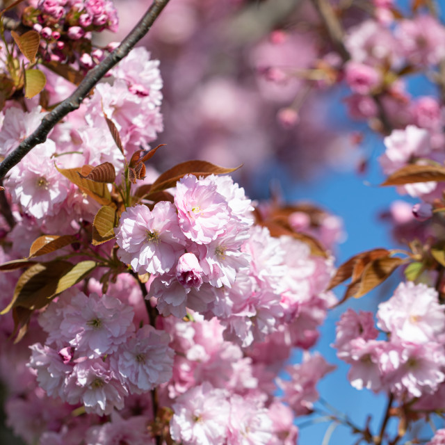 """""""Pink. Cherry. Tree Blossom. Spring. Nature. Sunny. Day"""" stock image"""