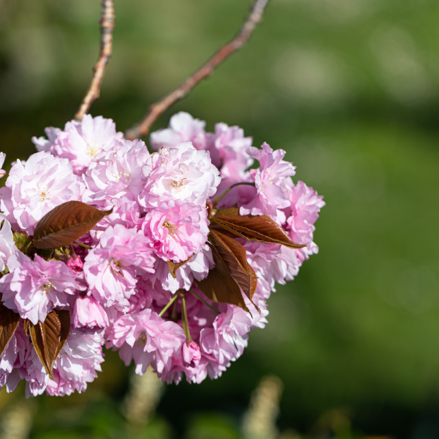 """""""Pink. Cherry Tree. Blossom. Spring. Nature. Sunny. Day"""" stock image"""