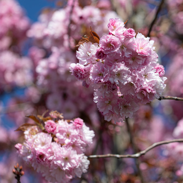 """""""Pink. Cherry. Tree. Blossom. Nature. Spring. Sunny Day"""" stock image"""