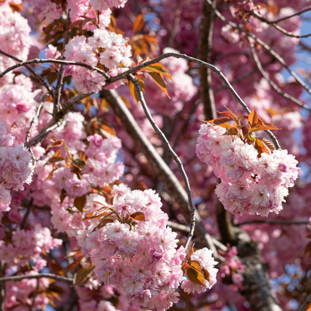 """""""Pink. Cherry. Tree. Blossom. Nature. Spring. Sunny. Day"""" stock image"""