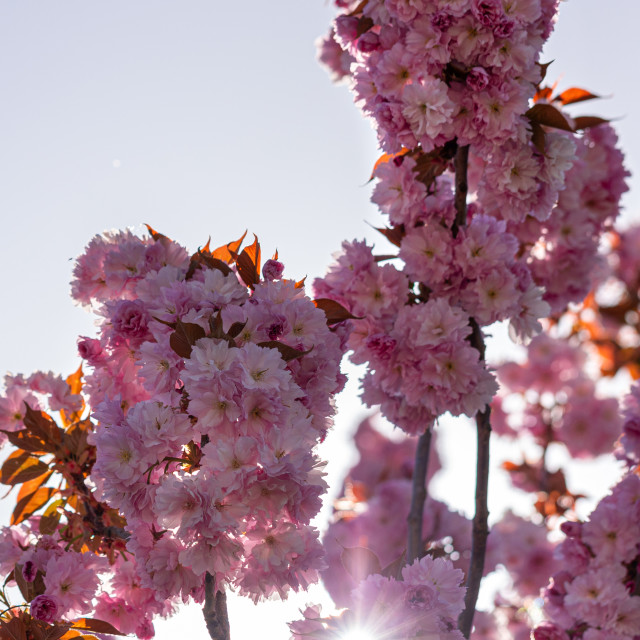 """""""Pink. Cherry. Tree. Blossom. Spring. Nature. Sunny. Day"""" stock image"""