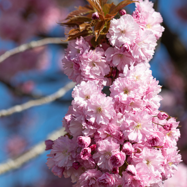 """""""Pink. Cherry. Tree. Blossom. Spring. Nature. Sunny Day"""" stock image"""