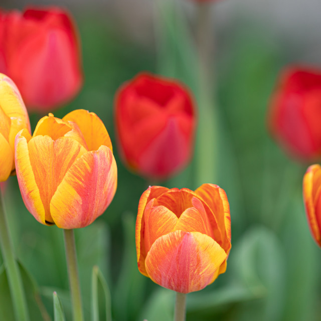 """""""Tulips Flower. Heads. Color. Nature. Garden. Spring"""" stock image"""