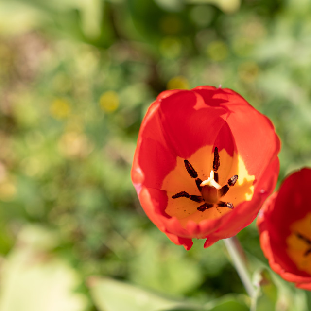 """""""Tulips. Flower. Red. Color. Nature. Garden. Spring"""" stock image"""