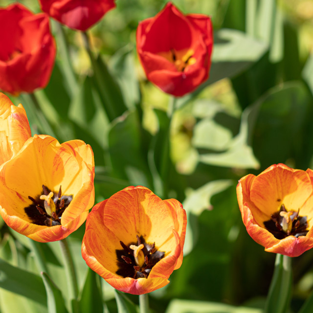 """""""Tulips. Flower. Heads. Color Nature. Garden. Spring"""" stock image"""