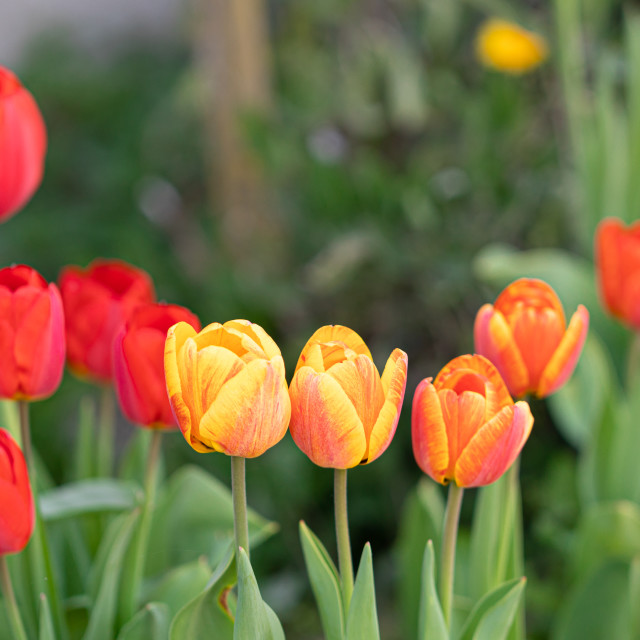 """""""Tulips. Flower Heads. Color. Nature. Garden. Spring"""" stock image"""