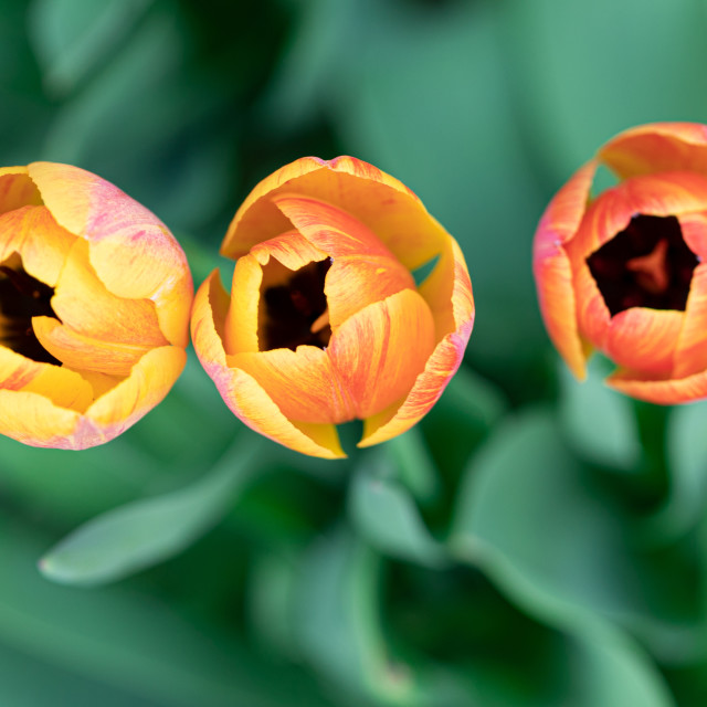 """""""Tulips. Flower. Heads. Color. Nature. Garden. Spring"""" stock image"""